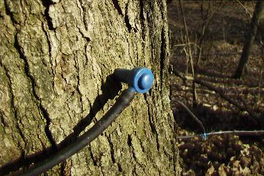 A Newly Tapped Maple Tree